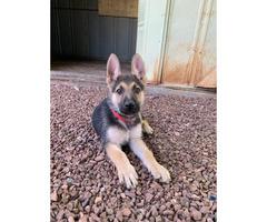 9 weeks Male German Shepherd Pups for Sale