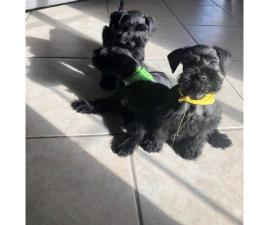 4 beautiful purebred Miniature Schnauzers for adoption
