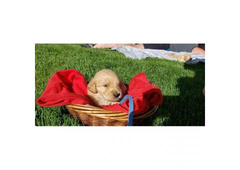 F1XP Golden Doodles For Sale