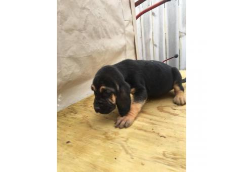 Pure bred litter of blood hound puppies 5 males