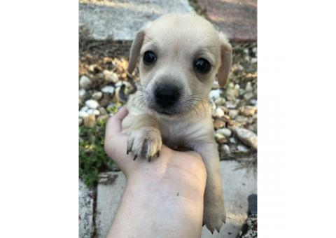 9 week old designer breed Chiweenie puppies for sale