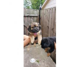 2 females left Shichi Puppies for sale