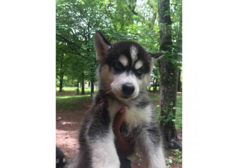 10 weeks old Male Husky Puppy for Sale