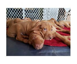 9 weeks old AKC registered Hungarian Vizsla puppies