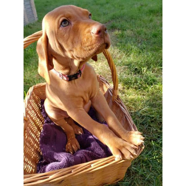 9 weeks old AKC registered Hungarian Vizsla puppies in Hawaii USA