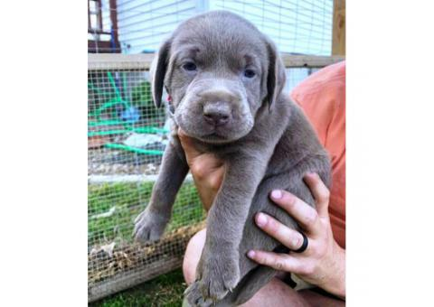 3 AKC charcoal female with silver female lab puppies for sale