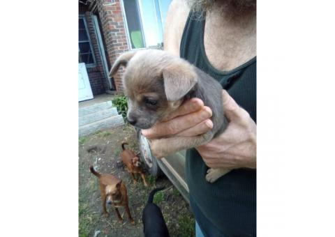 Female Standard Size Chihuahua Puppy for Sale