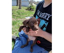 6 bully puppies for adoption