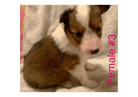 3 Adorable Sheltie puppies still available