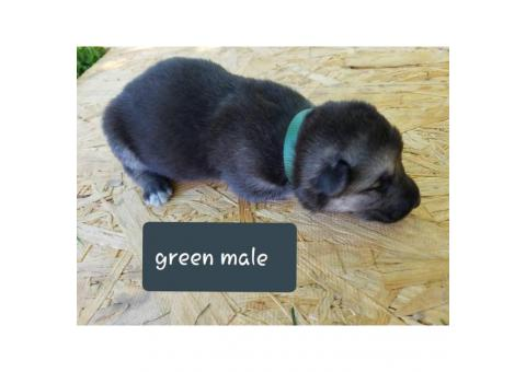 CHEAP German Shepherd puppies 4 Females and 5 Males available