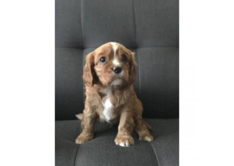 One Female King Charles Cavalier Spaniel Puppy Left