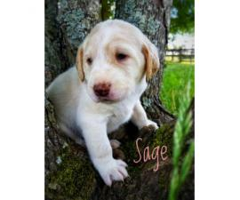 Labradoodle puppies come with CKC registration
