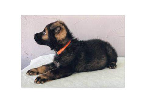 German shepherd puppies 4 males available