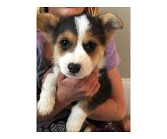 8 weeks Corgi puppy for sale