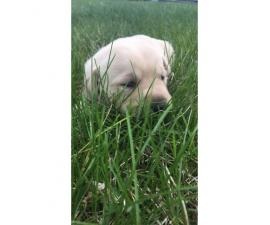 Registered lab puppies available