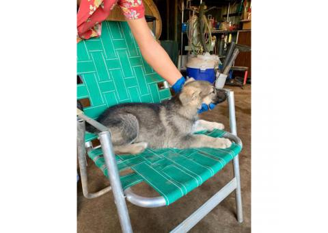 6 full blooded German Shepherd females puppies