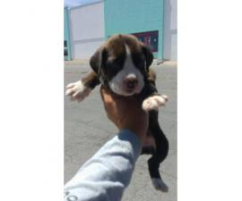 4 full bred Boxer Puppies , 8 week old
