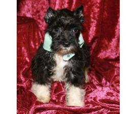 3 beautiful Black &White Parti Miniature Schnauzers for sale