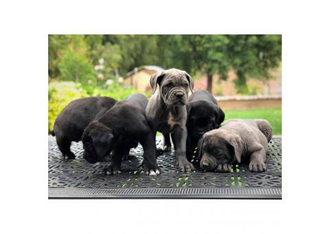 5 Males and 1 blue Female Cane Corso Pups for Sale