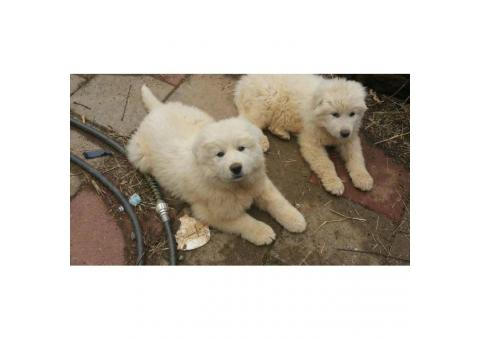 5 Great Pyrenees puppies UTD on shots and worming