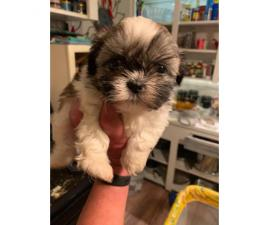 Shih Tzu Puppy For Sale By Owner Page 3 Puppies For Sale Near Me