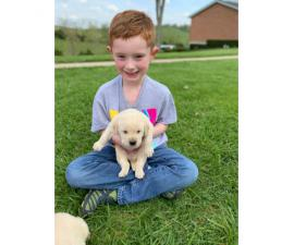 Akc registered yellow labs