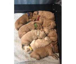 F2B goldendoodle puppies 6 males and two females left