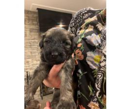 AKC Bouvier Des Flanders Female Puppies for Sale