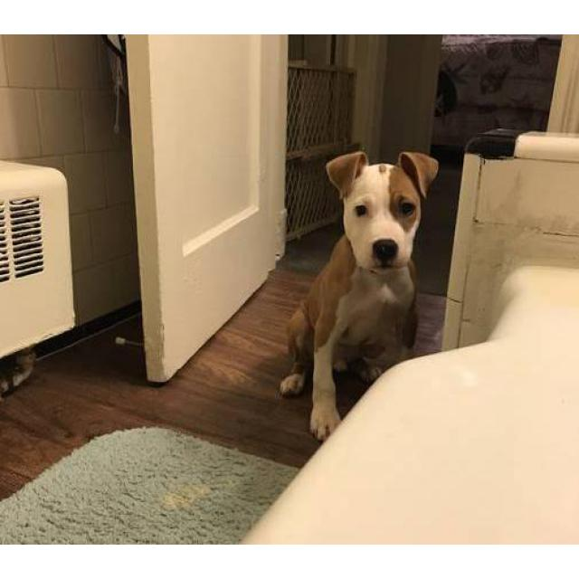Kia Near Me >> Tan and white male pit bull puppy for sale in Baltimore, Maryland - Puppies for Sale Near Me