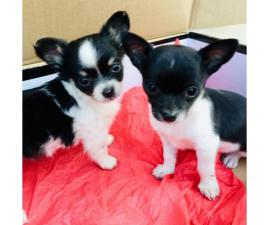 2 apple head chihuahua puppies for sale