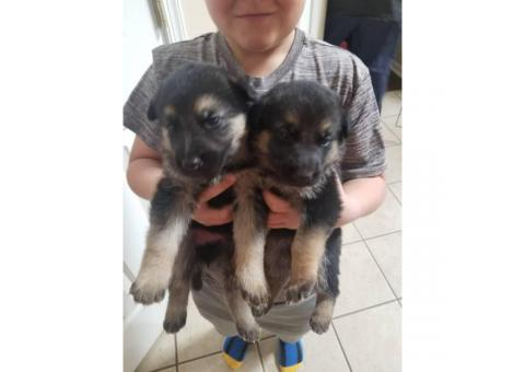 German shepherd puppies 3 males, 1 female