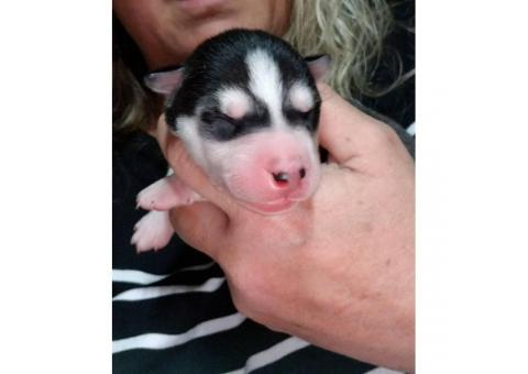 Registered husky puppies for sale