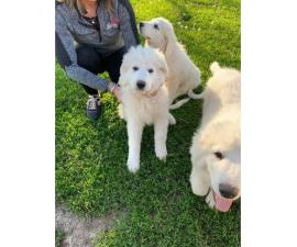 White Pyrenees Puppies for Sale