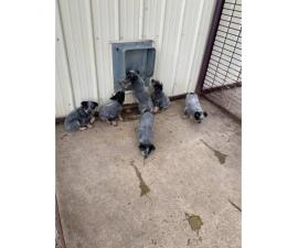 Blue Heeler Puppies for sale one male and five females