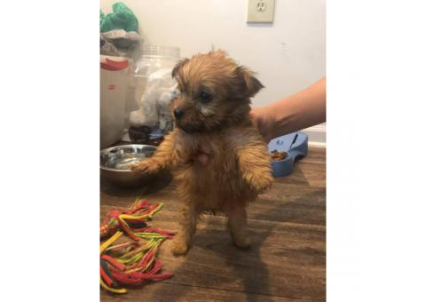 Yorkie maltese mix puppies to rehome