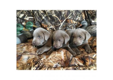 AKC Silver labrador puppies for sale