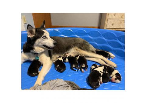 6 boys and 2 girls Siberian Huskies for Sale