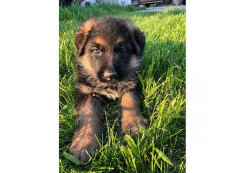 8 week old purebred German Shepherd puppies for sale