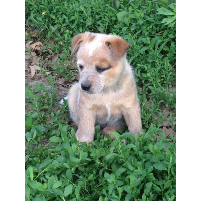 6 weeks old Heeler pups excellent farm dogs in South Australia