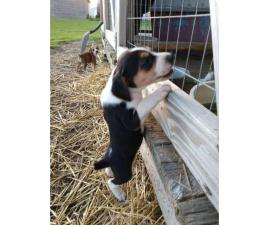 Registered Mountain cur puppies