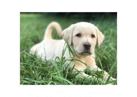 2 Yellow Lab Females Puppies
