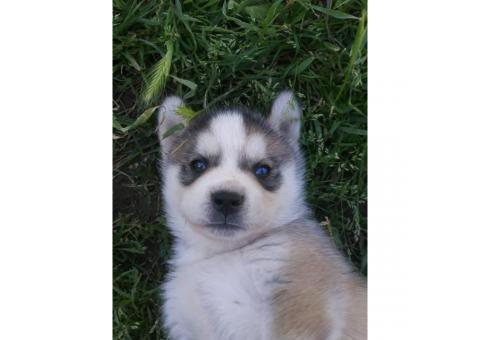 Full bred Huskies for Sale