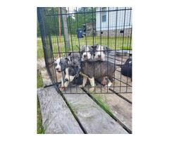 7 weeks old Pit Bulls 5 girls left