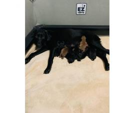 11 Labrador Retriever babies Limited or Full AKC