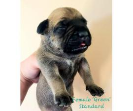 4 females American Bully puppies available