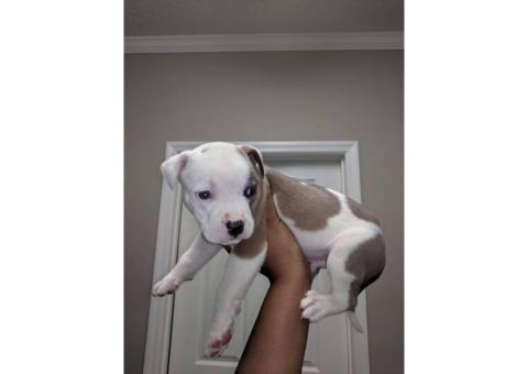 6 week old american bulldog puppies need a good home