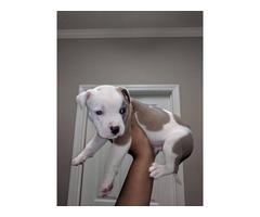 6 week old american bulldog puppies need a good home