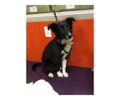 4 month old Border Collie puppy
