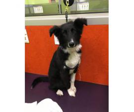 4 month old Border Collie puppy