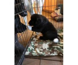 Fully blooded Akita pups 6 weeks old